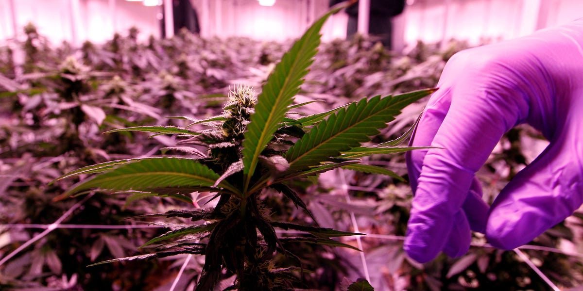 Cannabis firms just cut hundreds of jobs as the once-hot industry contends with a 'toxic' landscape